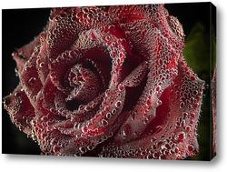 Постер Бутон розы в воде