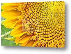 Постер Sunflower