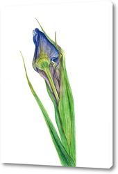 Картина Ботаническая иллюстрация. Ирис.