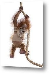 Постер Baby Sumatran Orangutan hanging on rope against white background