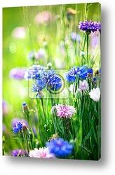 Постер Васильки. Цветущие синие цветы. Крупный план
