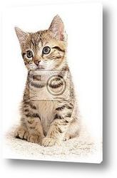 британские короткошестные котята