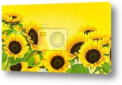 Постер Sunflowers on a yellow background in summer