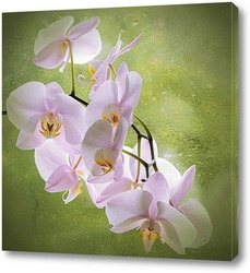 Pink orchid, blossoming phalaenopsis flower(phalaenopsis spp.) w