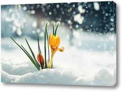 нежный желтый цветок подснежника крокус пробивается из под снега в весеннем парке