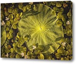 Постер Лист лотоса Комарова лежит на воде в пруду. Его окружают миниатюрные белые цветы