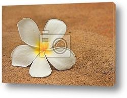 Постер Plumeria flower
