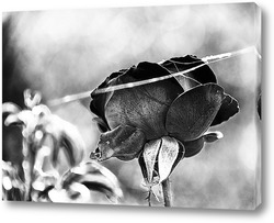 Роза в черно-белых тонах