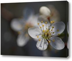 Постер Слива цветет