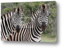 Голова зебры крупным планом