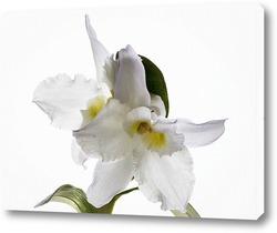 Постер Орхидея дендробиум Нобиль