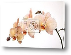 Постер Isolated orchid flowers on white