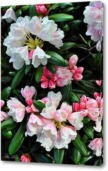 Постер  Рододендрон в цвету