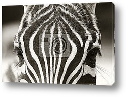 Постер Голова зебры крупным планом