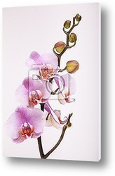 Beautiful moth orchid flowers with back sunlight