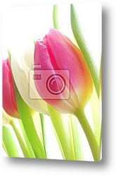 Close-up of bunch of colorful tulips on white background