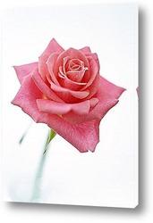 Розовые розы после дождя