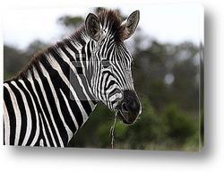 Портрет двух зебр.Эффект сепия