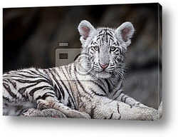Постер White tiger portrait