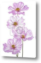 Фиолетовые ромашки