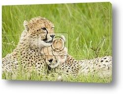 Постер Cheetah cubs