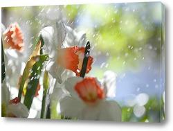 нарциссы под каплями дождя