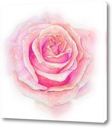 Роза нежная, как облако.