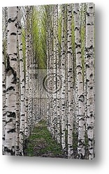 Постер Birch trees