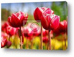 Постер Red tulips in keukenhof holland