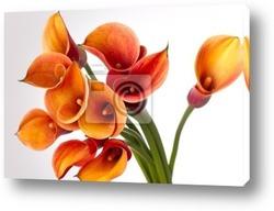 Постер Orange Calla lilies(Zantedeschia) over white