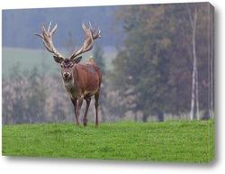 Постер Благородный олень