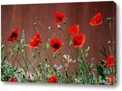 Red Poppies in Meadow