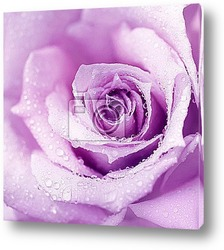 Постер Purple wet rose background