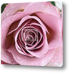 Rose with water drops