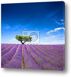 Постер Lavande Provence France / lavender field in Provence, France