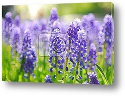Постер Grape hyacinth in keukenhof holland