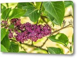 Сиринга расцветает в зеленых листьях