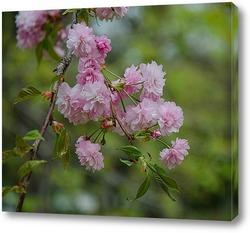 Постер Сакура цветёт
