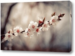 Цветение японской вишни