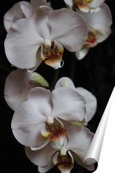Постер белая орхидея