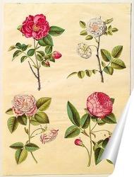 Постер Роза Галлика