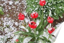 Постер тюльпаны под снегом