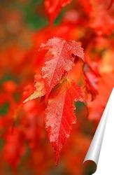 Постер Яркие, осенние листья клёна