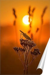 Постер Кузнечик на цветке в лучах восходящего солнца