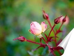 Постер Бутон розы