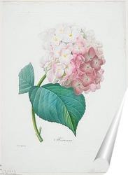 Постер Гортензия