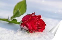 Постер Алая роза на снегу