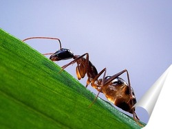 Постер Янтарный муравей