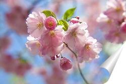 Постер цветущая вишня