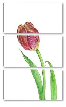 Модульная картина Ботаническая иллюстрация. Тюльпан